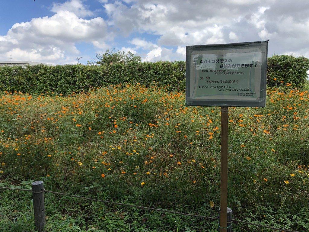 キバナコスモスの花摘みのお知らせ