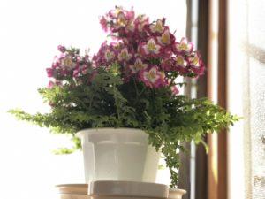 自宅の鑑賞花|ぎいちワン